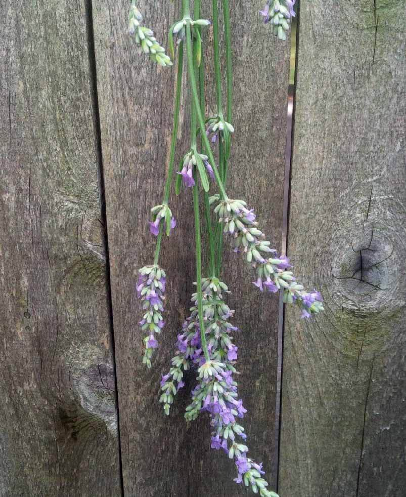 Lavender flowers are best dried by hanging in a cool, dry place.
