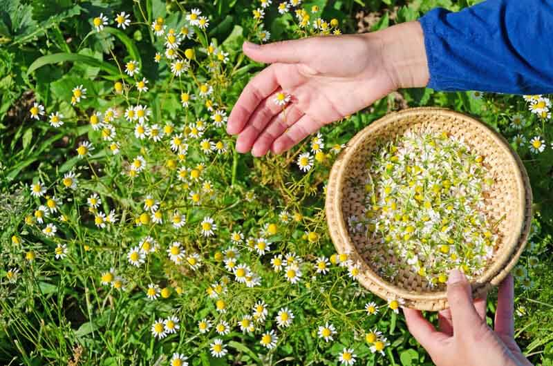 Collecting chamomile