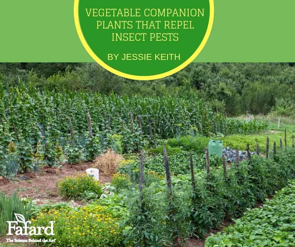Vegetable Companion Plants that Repel Insect Pests Featured Image