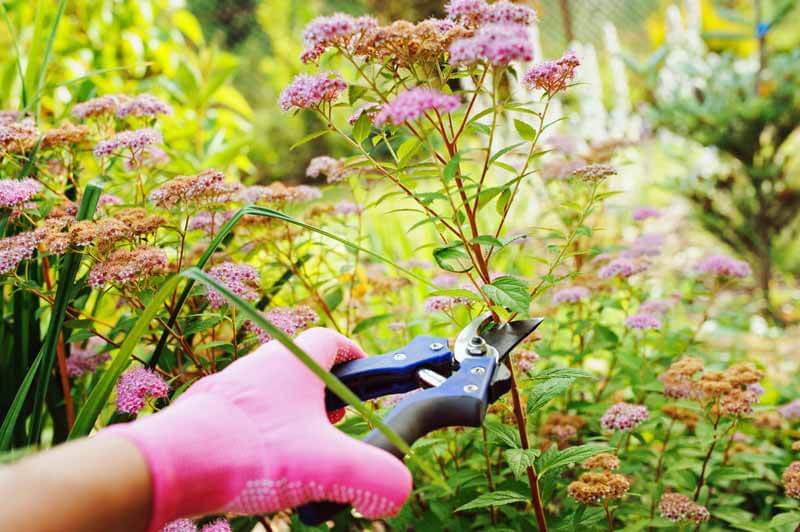 Trimming spirea flowers and leggy stems