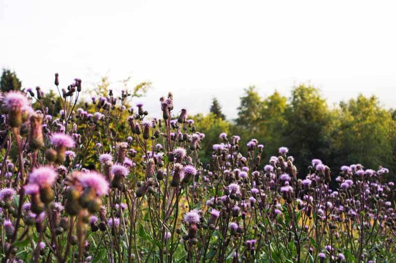 Canada thistle in bloom
