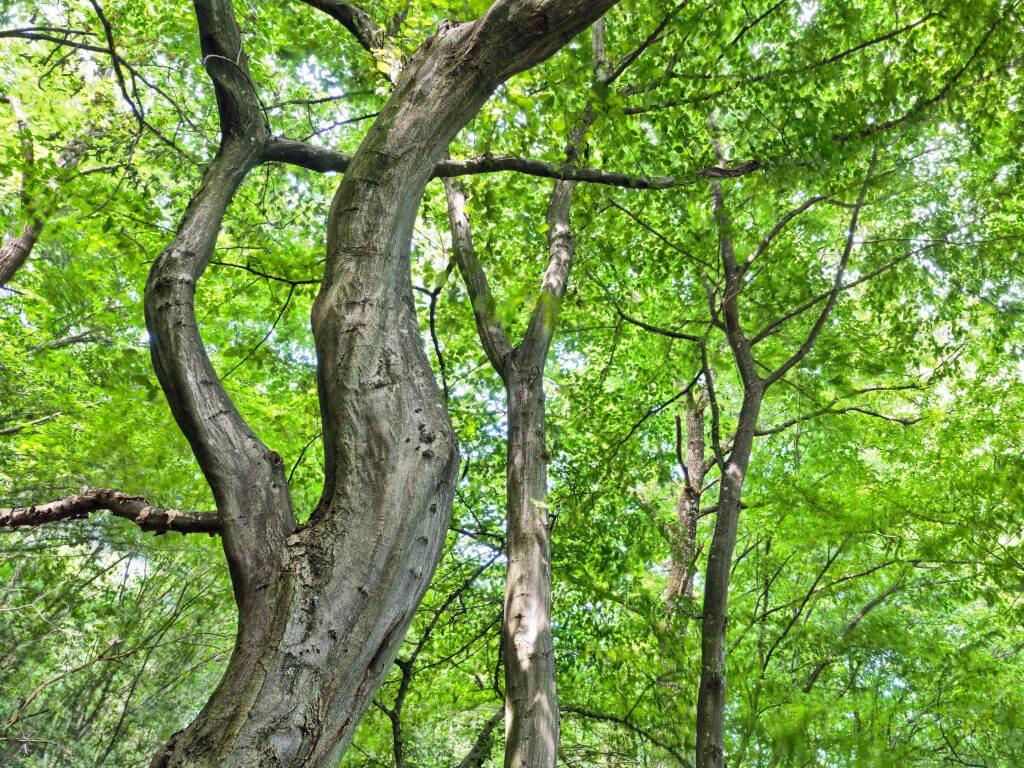 Strong-wooded muscle wood trees