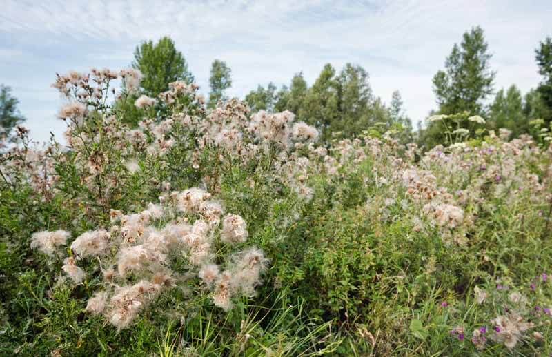 Canada thistle in seed