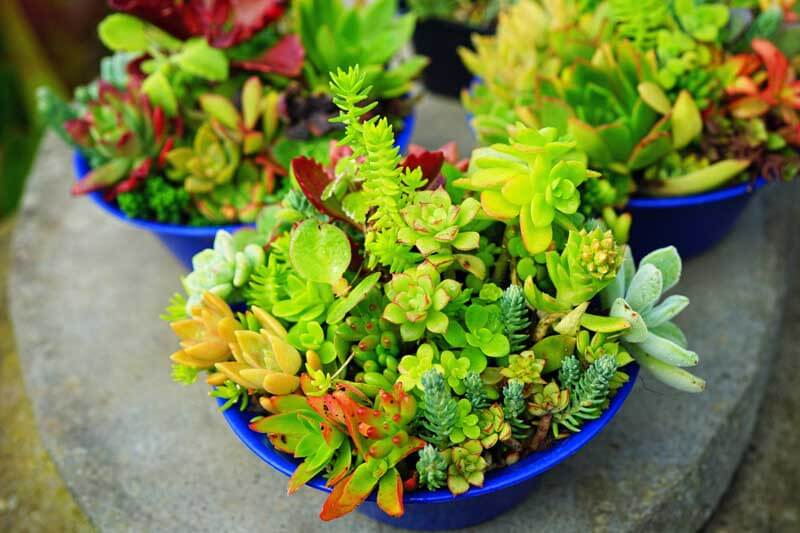 Blue containers with a variety of succulents