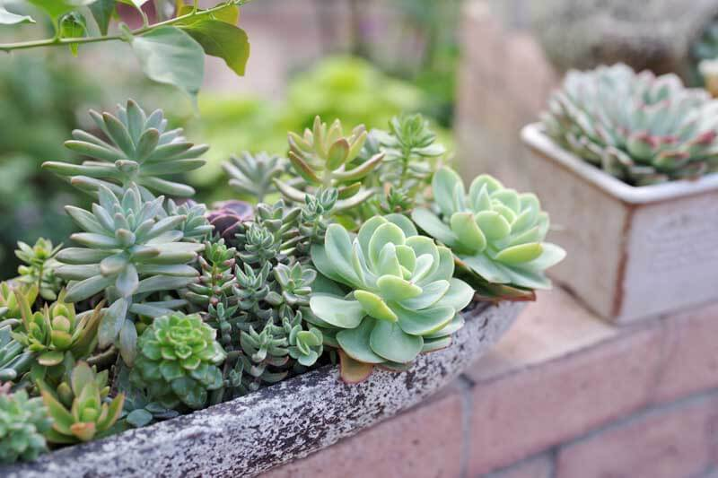 Outdoor potted succulents