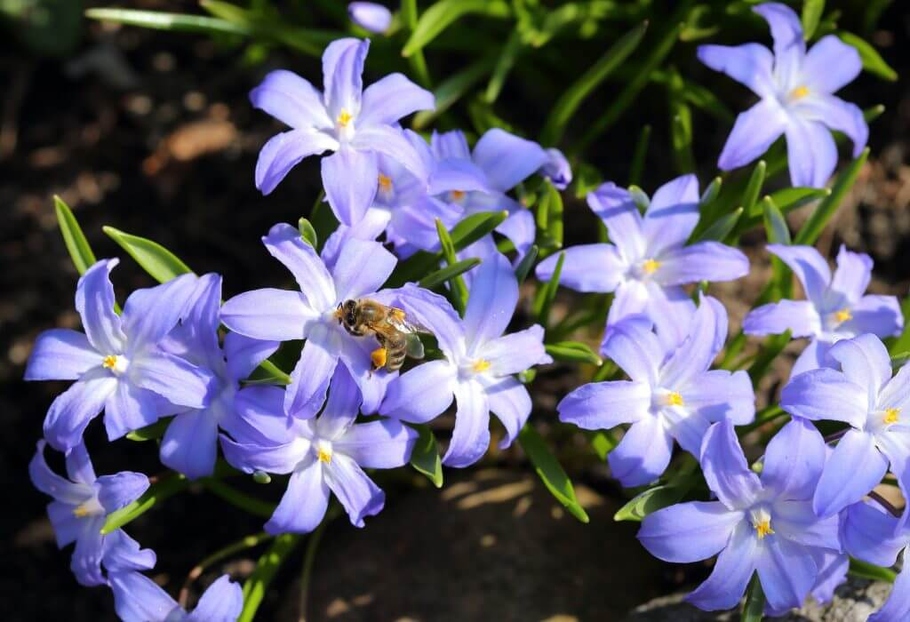 Bee on a Glory-of-the-snow flowers
