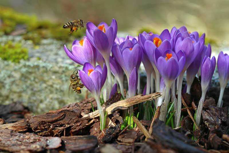 Bees flying over crocuses