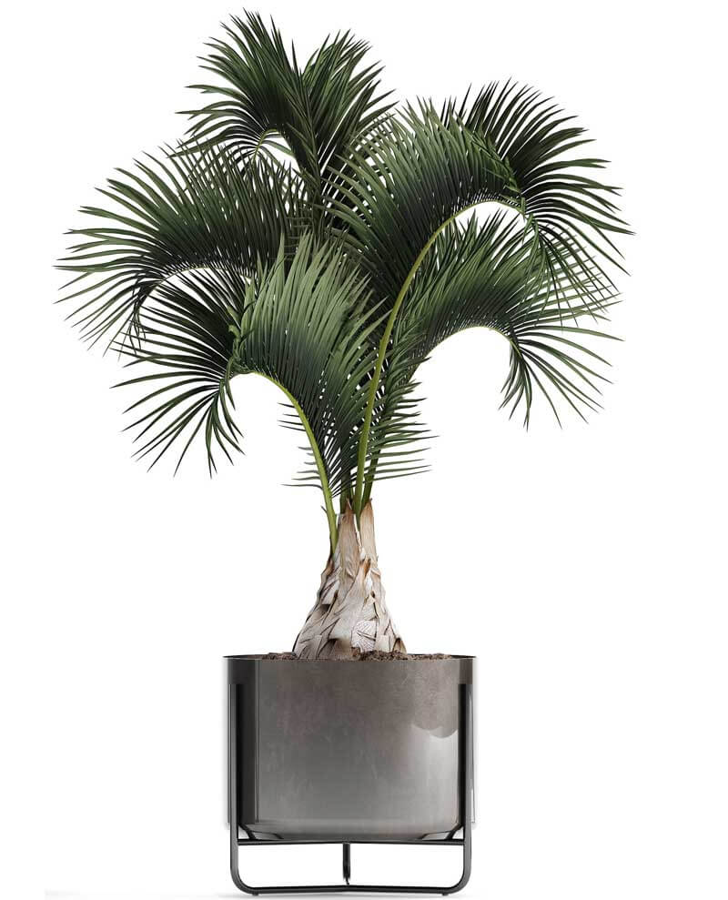 Bottle palm in a modern container