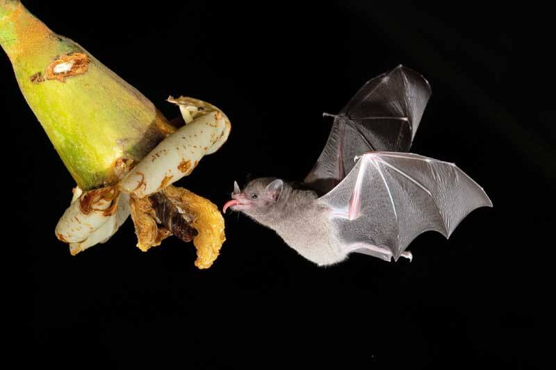 Bats pollinate large, fruity-smelling flowers with lots of nectar.
