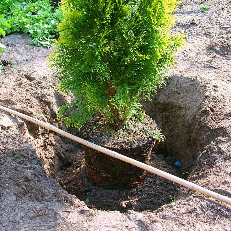 New tree in a dug out planting hole