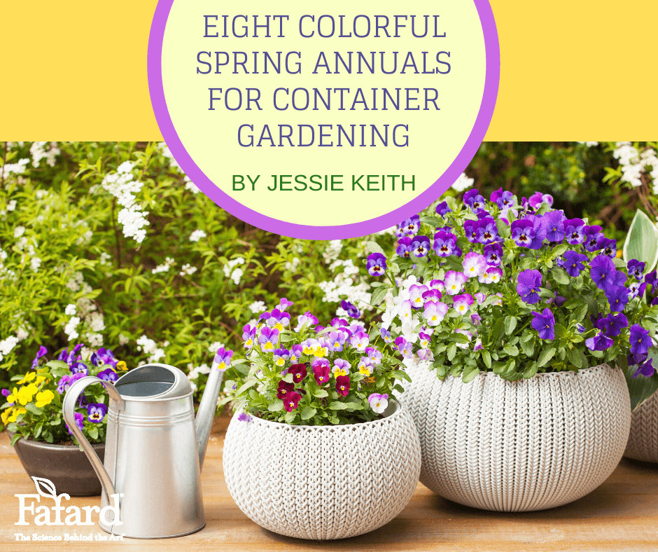 Eight Colorful Spring Annuals for Container Gardening Featured Image