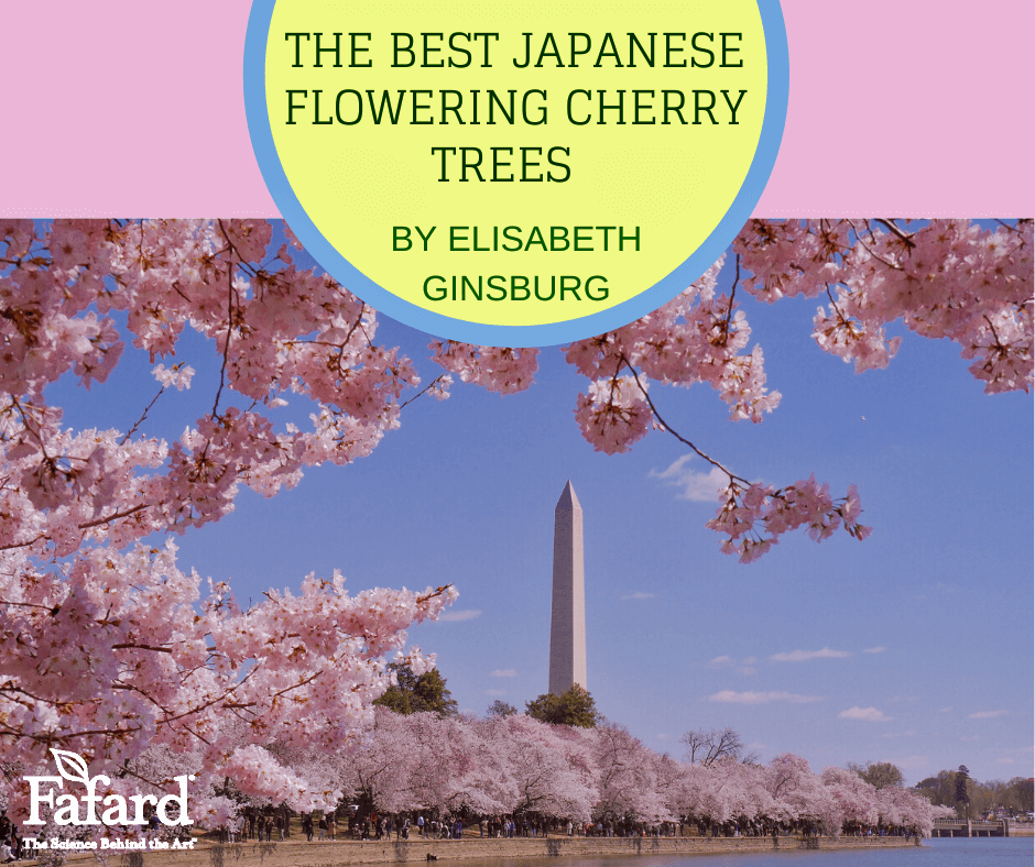 Best Japanese Flowering Cherry Trees Featured Image
