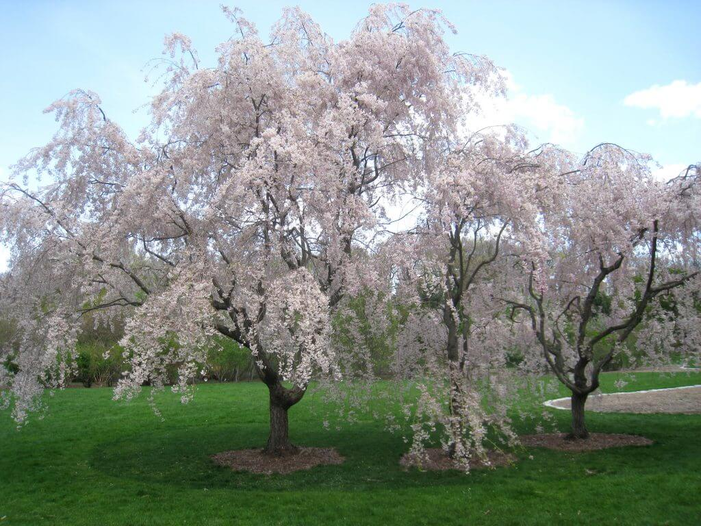 Weeping cherry trees