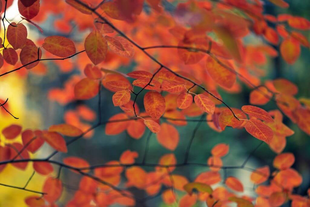 Fall leaves of serviceberry