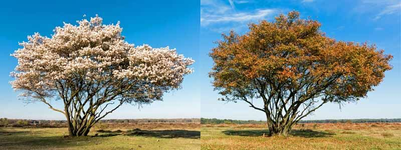 Serviceberry in different seasons