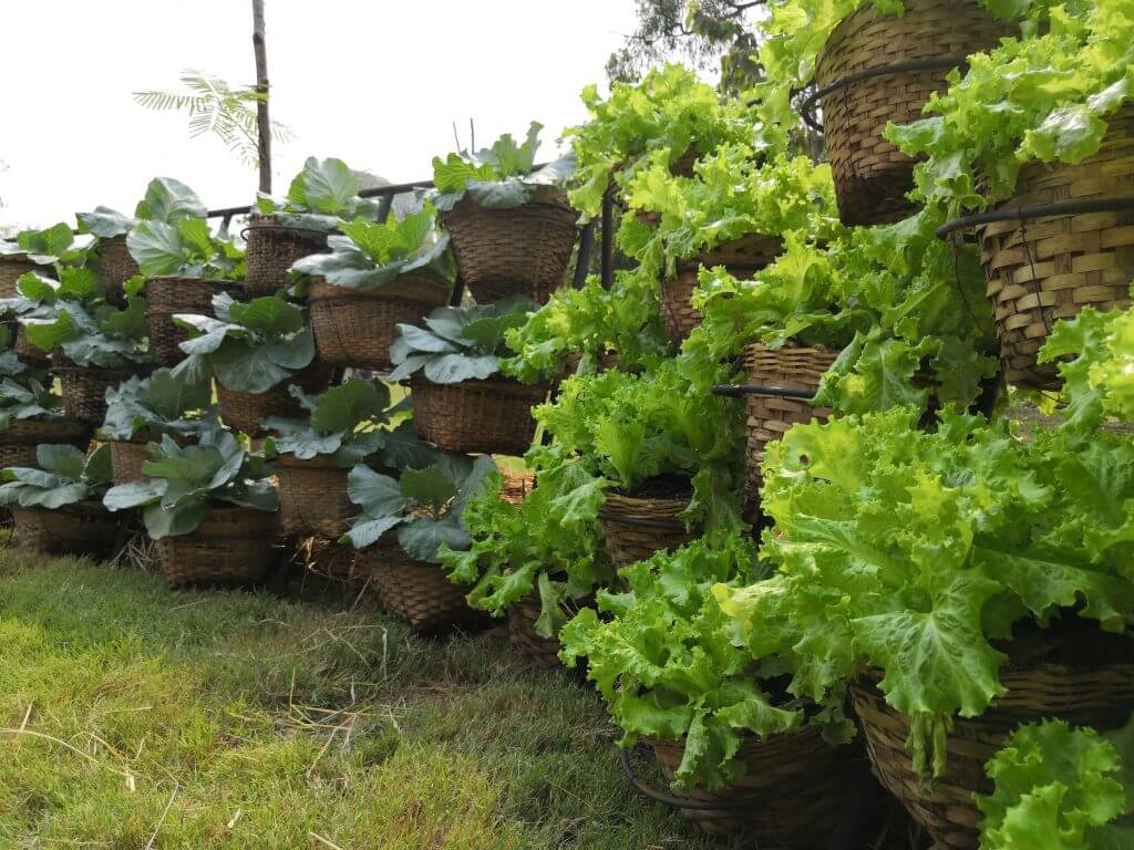 Large wicker baskets with lettuce and cabbages