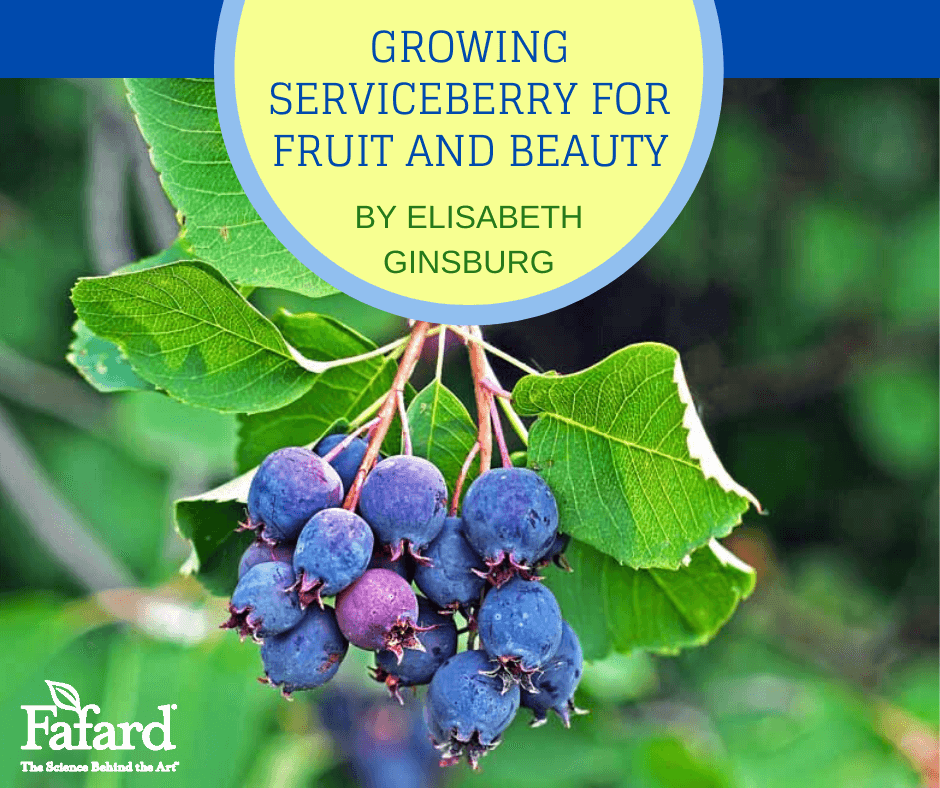 Growing Serviceberry for Fruit and Beauty Featured Image