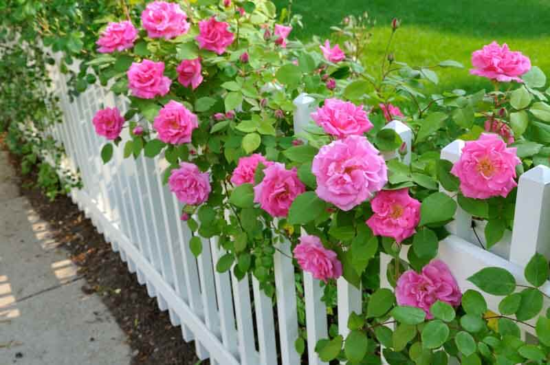Pink roses climbing on white fence embody old-fashioned garden beauty