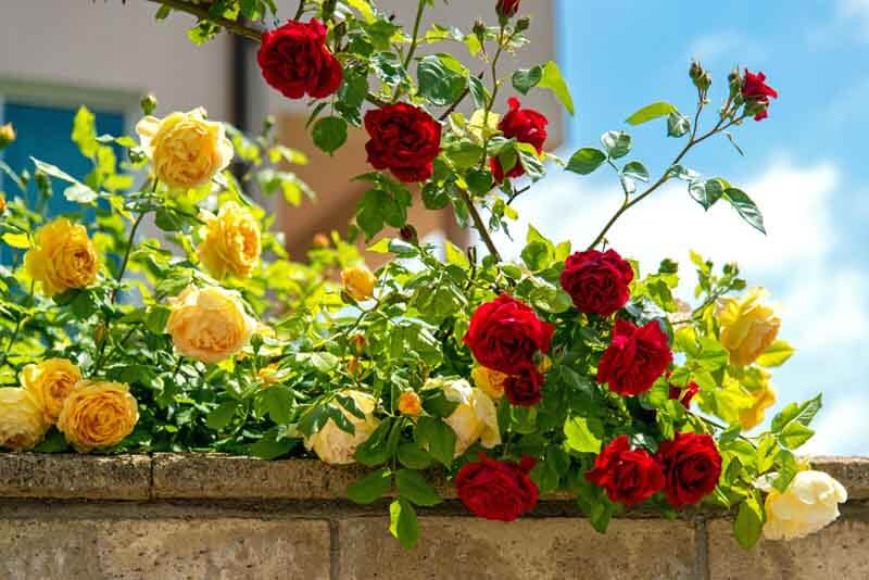 Yellow and red climbing roses
