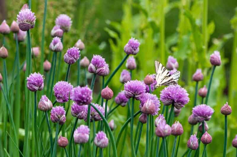 Butterfly on chive blossoms
