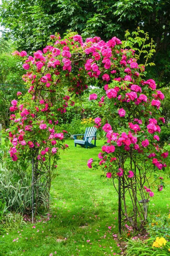 A John Cabot rose climbing an arbor in a backyard garden.