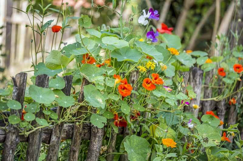 Blooming nasturtium climbing on an old weathered wooden fence