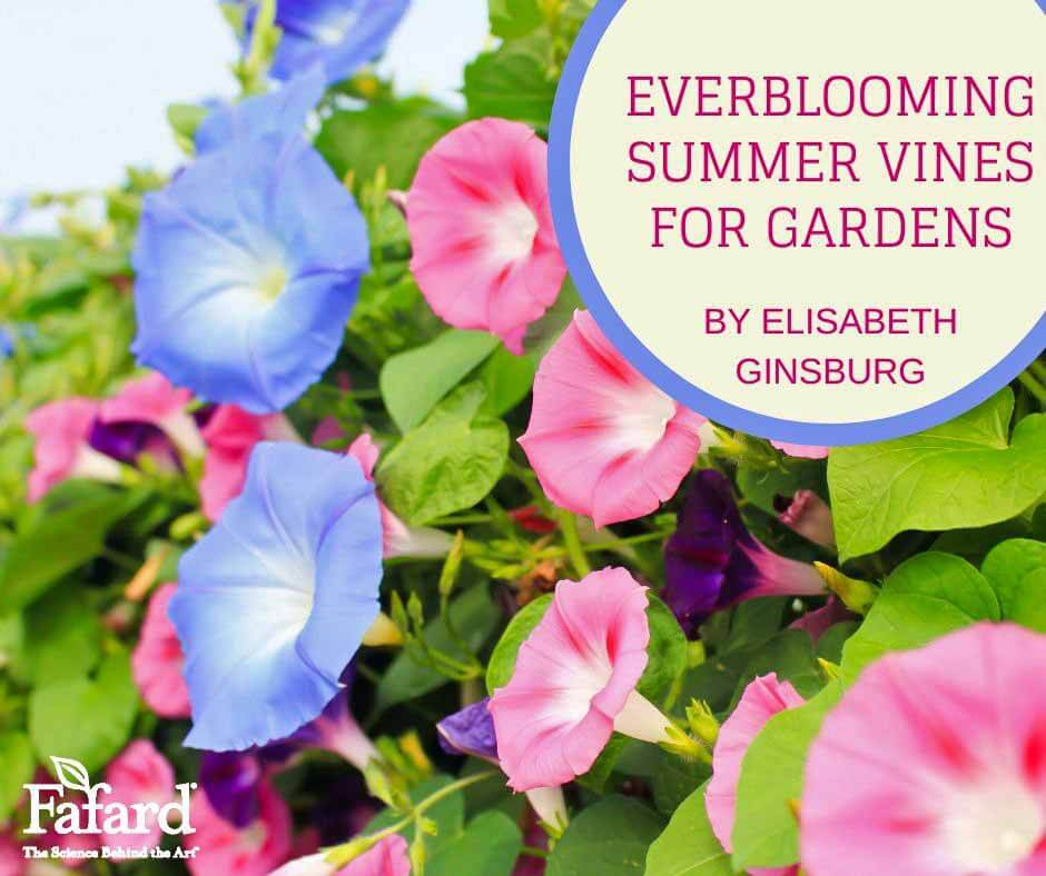 Everblooming Summer Vines for Gardens Featured Image