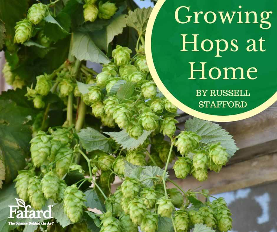 Growing Hops at Home Featured Image