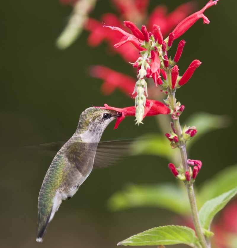 A young ruby-throated hummingbird (Archilochus colubris) feeding from the flowers of pineapple sage