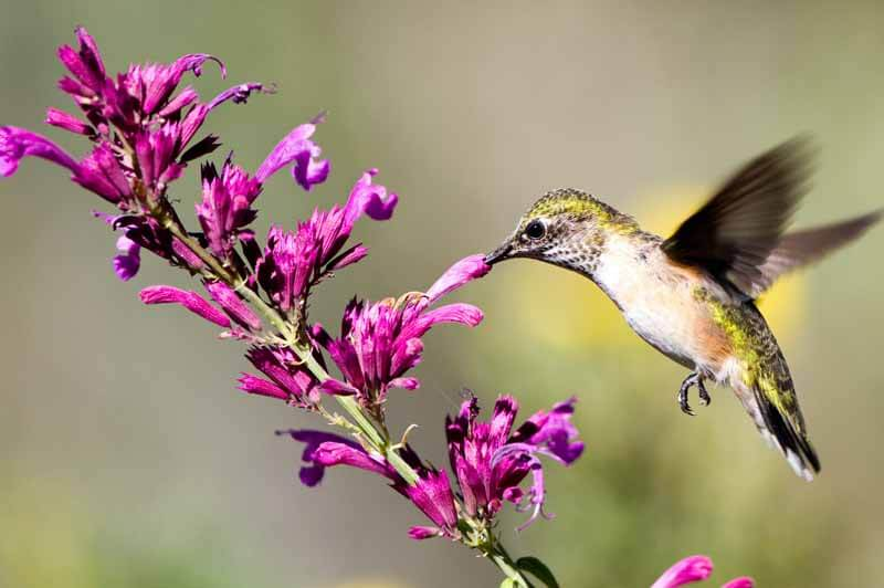 Young broad-tailed hummingbird taking nectar from Mexican giant hyssop