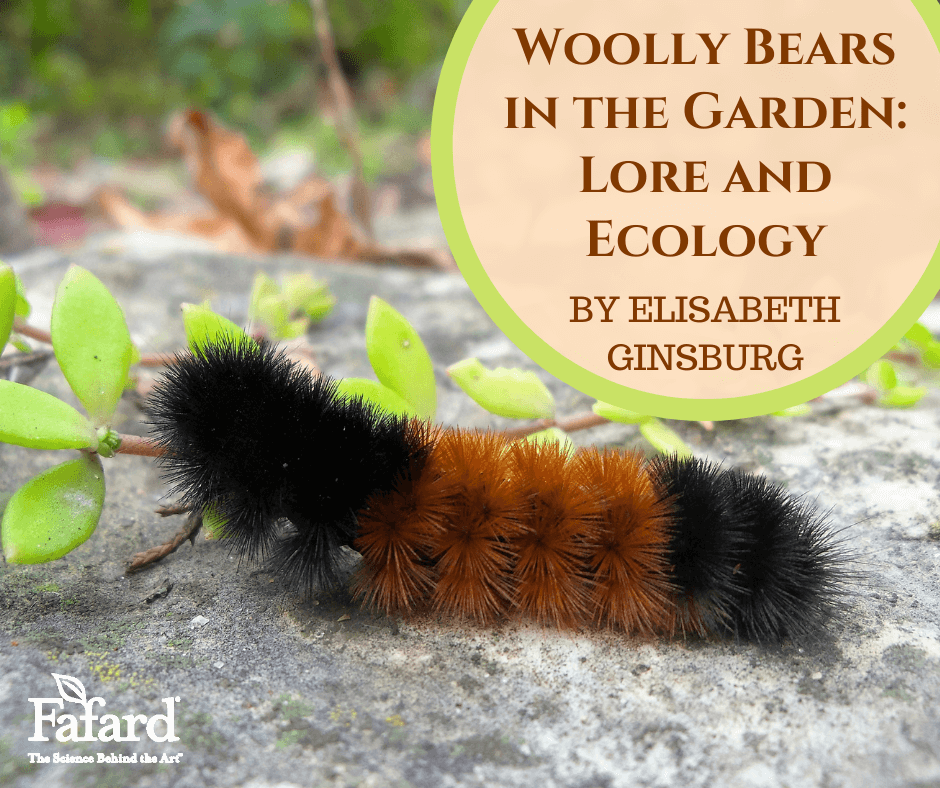 Wooly Bears in the Garden: Lore and Ecology Featured Image