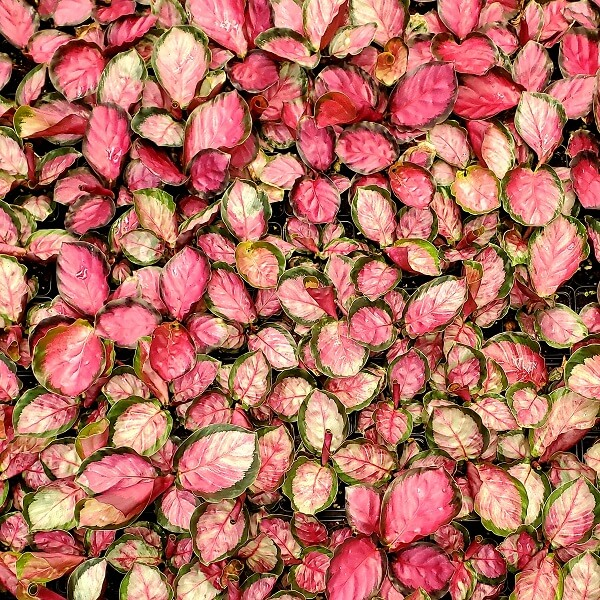 Calathea 'Rosy' (Image thanks to Steve's Leaves)