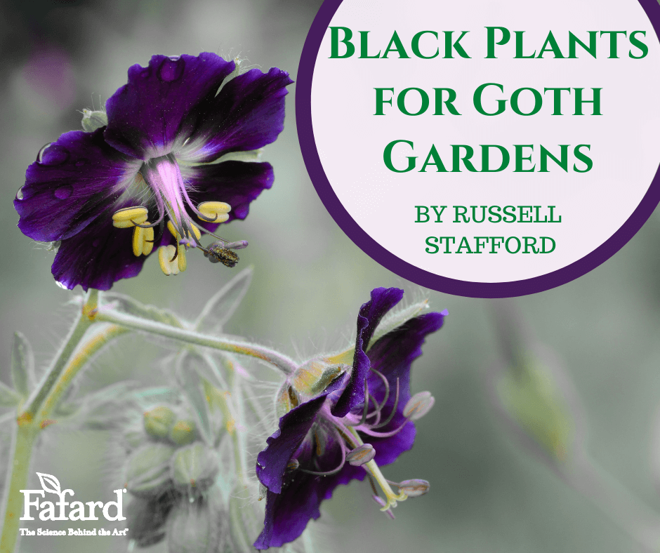 Black Plants for Goth Gardens Featured Image