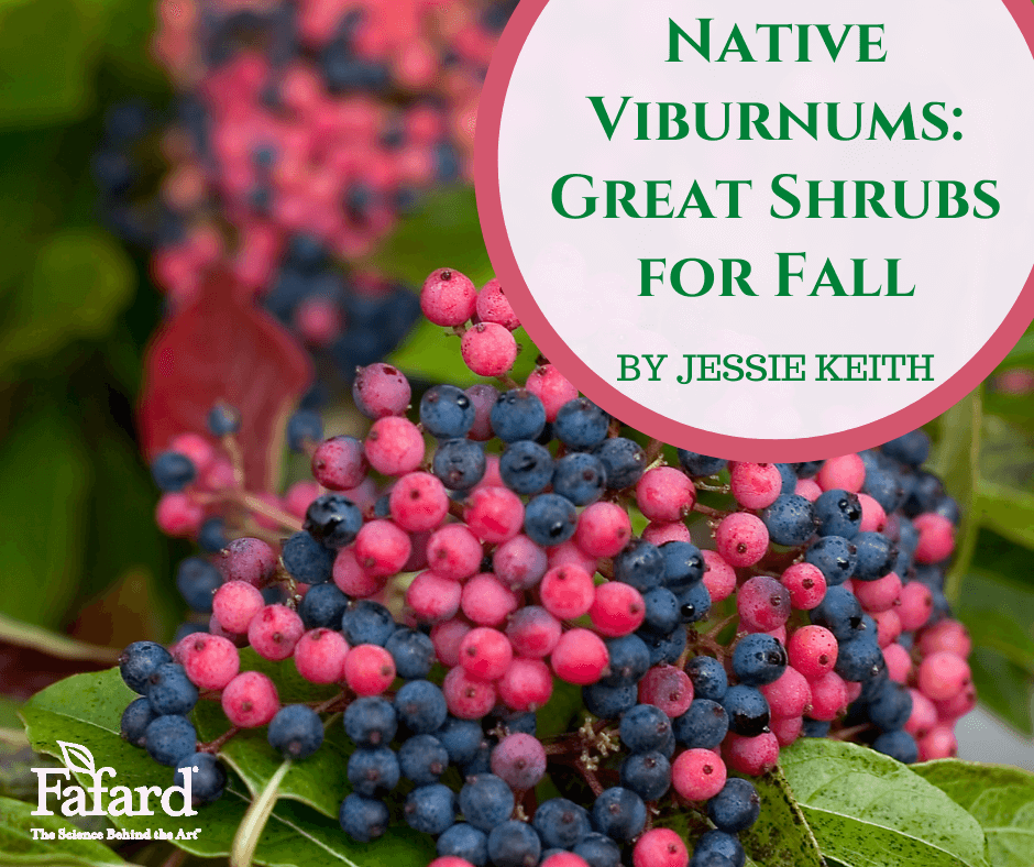 Native Viburnums: Great Shrubs for Fall Featured Image