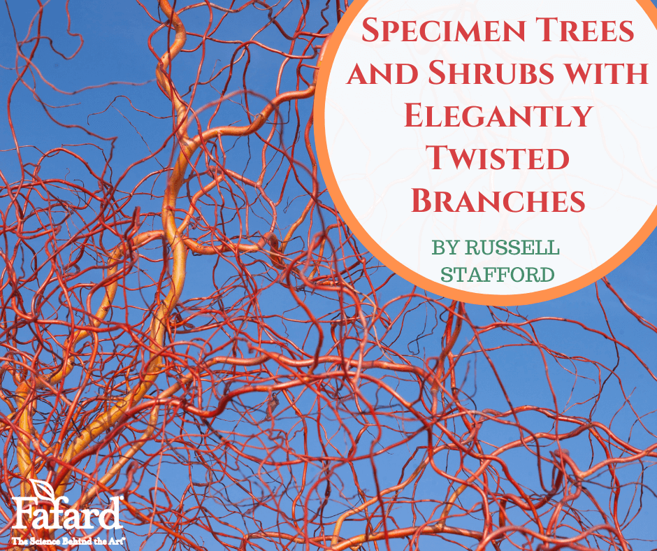Specimen Trees and Shrubs with Elegantly Twisted Branches Featured Image
