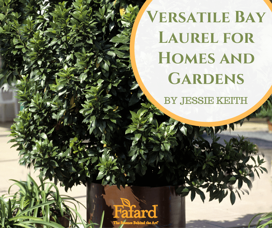 Versatile Bay Laurel for Homes and Gardens Featured Image