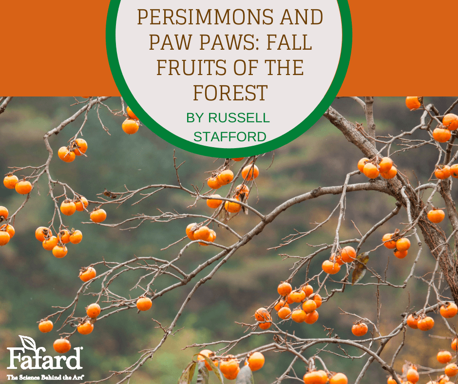 Persimmons and Paw Paws: Fall Fruits of the Forest Featured Image