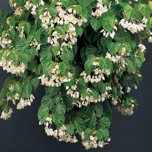 Begonia solananthera (Image [...] </p>                 <a class=