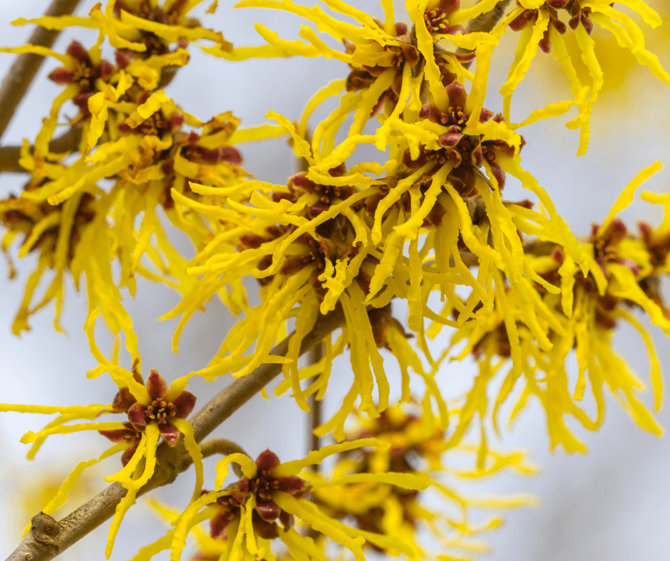 Chinese witch hazels