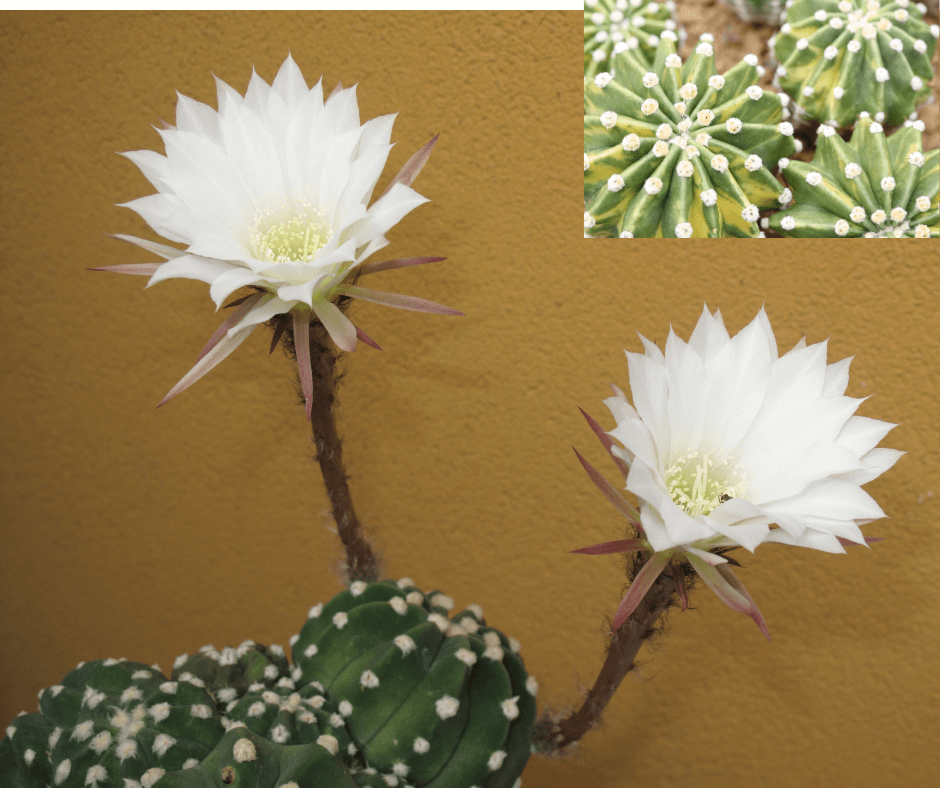 Dominos Easter lily sea urchin cactus