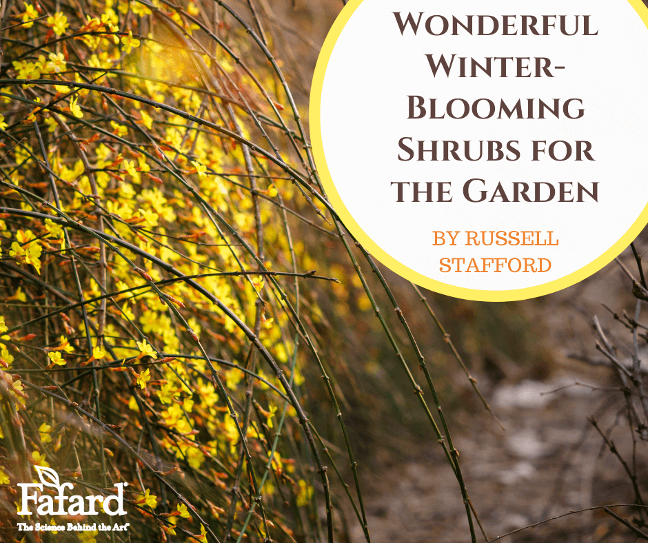 Wonderful Winter-Blooming Shrubs for the Garden Featured Image