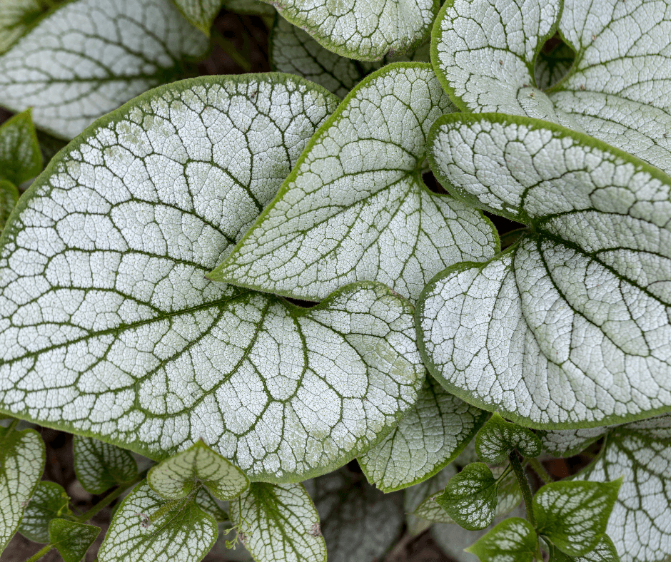 Brunnera 'Jack Frost' leaves
