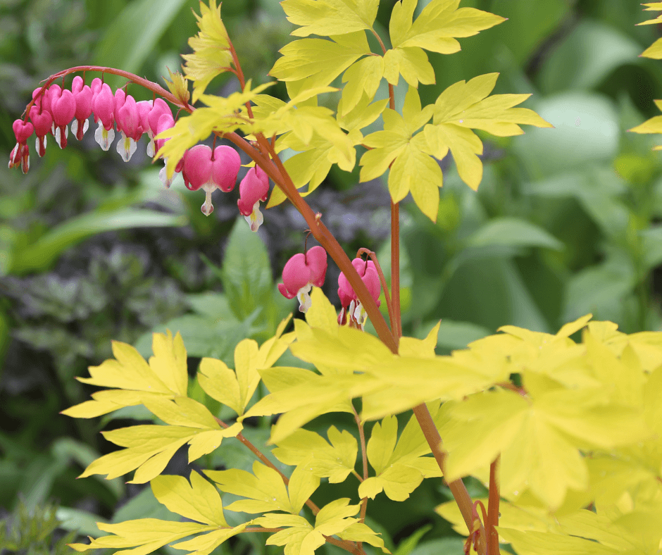 'Gold Heart' bleeding hearts