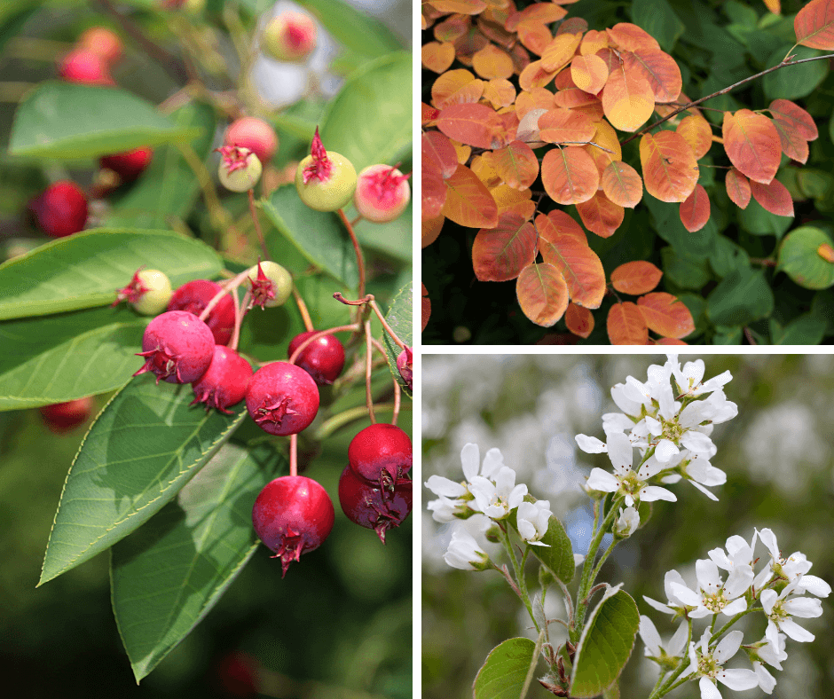 Serviceberries spring flowers, edible summer fruits and fall leaves