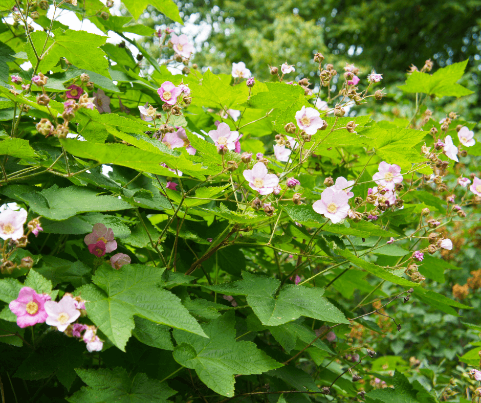 The pretty flowers of purple-flowered raspberry appear through summer.