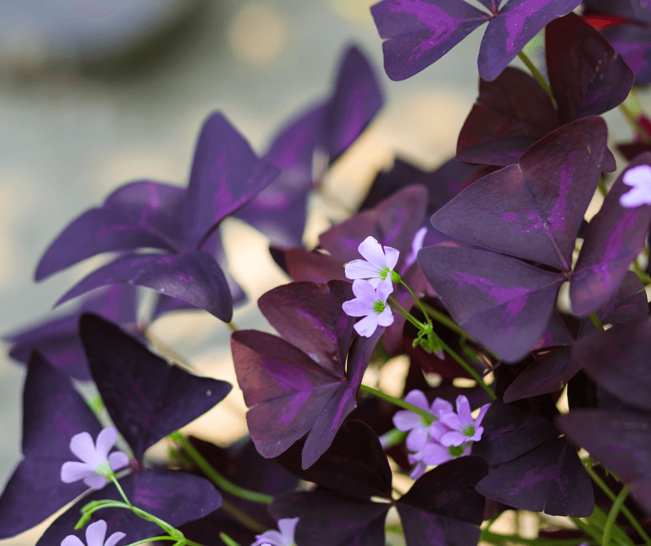 Purple-leaved Oxalis [...] </p>                 <a class=