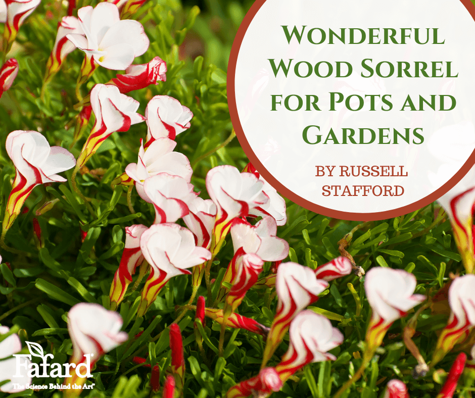 Wonderful Wood Sorrel for Pots and Gardens Featured Image